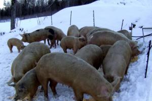 herd of pigs
